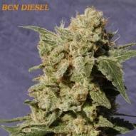 Semillas Bcn Diesel Kannabia