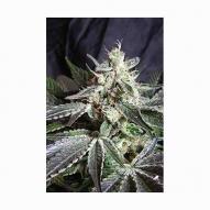 Semillas Cannabis - Sweet Seeds - Black Jack Feminizada