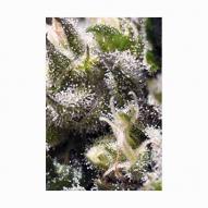 Semillas Cannabis - Sweet Seeds - Cream Caramel Feminizada AUTO