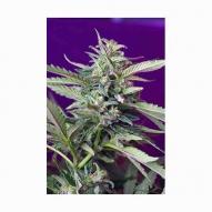 * Semillas Cannabis - Sweet Seeds - S.A.D. Feminizada AUTO