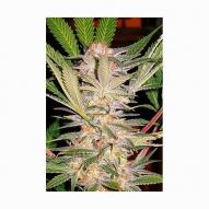 Semillas Cannabis - Sweet Seeds - S.A.D. Feminizada