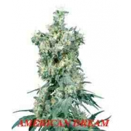 * Semillas American Dream Regular Sensi Seeds
