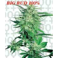 * Semillas Big Bud Sensi Seeds