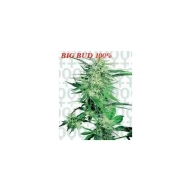 * Semillas Big Bud Regular Sensi Seeds