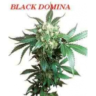 * Semillas Black Domina Regular Sensi Seeds