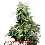 * Semillas California Indica Regular