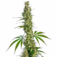 * Semillas Eagle Bill Regular Sensi Seeds