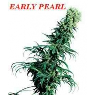 * Semillas Early Pearl Regular Sensi Seeds