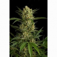 Semillas Cannabis - Dinafem - Original Amnesia Feminizada AUTO