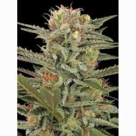 * Semillas Cannabis - Dinafem - Original Amnesia Feminizada