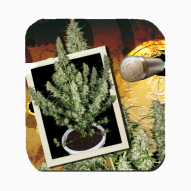 Semillas Cannabis - Buddha Seeds - Magnum Feminizada AUTO