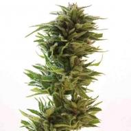 * Semillas Cannabis - Barney's Farm - LSD Feminizada 5 uds