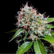 * Semillas Cannabis - Genehtik - Ese T Bilbo AUTO