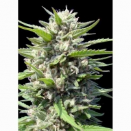 * Semillas Cannabis - Genehtik - Goxuak AUTO