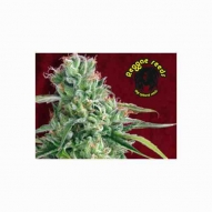 * Semillas Cannabis - Reggae Seeds - O'Haze Red Feminizada