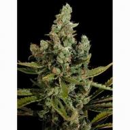 * Semillas Cannabis - Dinafem - Cheese Feminizada