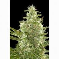 * Semillas Cannabis - Dinafem - Critical + Feminizada AUTO